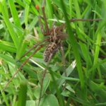 Common House Spider, Vancouver Island, BC