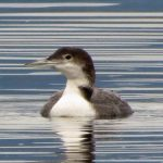 Common Loon, Vancouver Island, BC