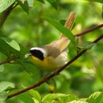 Common Yellowthroat, Vancouver Island, BC