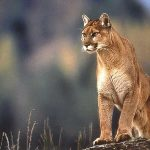 Cougar, Vancouver Island, BC