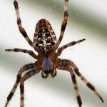 Cross Spider, Vancouver Island, BC