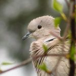 Eurasian Collared Dove, Vancouver Island, BC