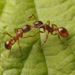 European Fire Ants, Vancouver Island, BC