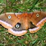 Eyed Owl Moth, Vancouver Island, BC