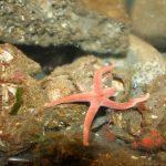 Fat Henricia Starfish, Vancouver Island, BC