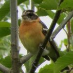Black Headed Grosbeak, Vancouver Island, BC