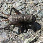 Field Crickets, Vancouver Island, BC