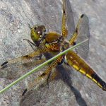 Four Spotted Skimmer Dragonfly, Vancouver Island, BC