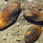Freshwater Mussels, Vancouver Island, BC