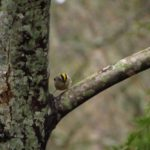 Golden Crowned Kinglet, Vancouver Island, BC