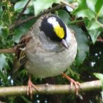 Golden Crowned Sparrow, Vancouver Island, BC