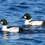Common Goldeneye Ducks, Vancouver Island, BC
