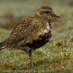 Pacific Golden Plover, Vancouver Island, BC