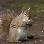 Grey Squirrel, Vancouver Island, BC