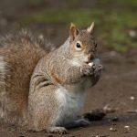 Grey Squirrel, Vancouver Island, BC