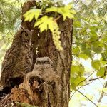 Great Horned Owl, Vancouver Island, BC