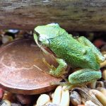 Green Tree Frog, Vancouver Island, BC