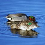 Greenwing Teal, Vancouver Island, BC
