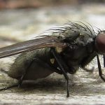 Greenback Fly, Vancouver Island, BC