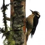 Hairy Woodpecker, Vancouver Island, BC