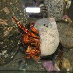 Hermit Crabs, Vancouver Island, BC