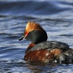 Horned Grebe, Vancouver Island, BC