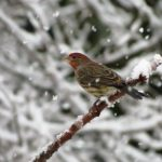 House Finch, Vancouver Island, BC