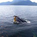 Humpback Whale, Vancouver Island, BC