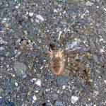 Huntsman Spider, Vancouver Island, BC