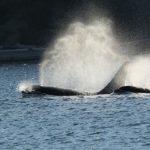 Killer Whale, Vancouver Island, BC
