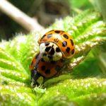 Ladybird Beetle, Vancouver Island, BC