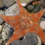 Leather Starfish, Vancouver Island, BC