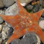 Leather Starfish, Vancouver Island, BC