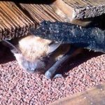 Little Brown Bat, Vancouver Island, BC