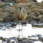 Long Billed Dowitcher, Vancouver Island, BC