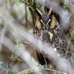 Long Eared Owl, Vancouver Island, BC