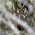 Long Eared Owl, Vancouver Island, BC