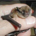 Long Legged Bat, Vancouver Island, BC