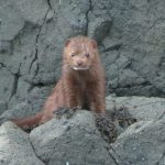 Mink, Vancouver Island, BC
