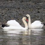 Mute Swans, Vancouver Island, BC