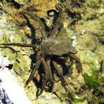 Northern Kelp Spider Crab, Vancouver Island, BC