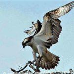 Osprey, Vancouver Island, BC
