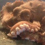 Pacific Octopus, Vancouver Island, BC