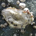Pacific Oyster, Vancouver Island, BC