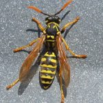 Paper Wasp, Vancouver Island, BC