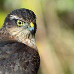 Peregrine Falcon, Vancouver Island, BC