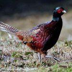 Ring Neck Pheasant, Vancouver Island, BC
