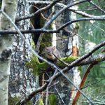 Pine Martin, Vancouver Island, BC