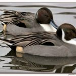 Northern Pintail Duck, Vancouver Island, BC