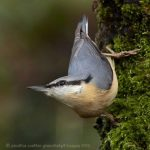 Red Breasted Nuthatch, Vancouver Island, BC